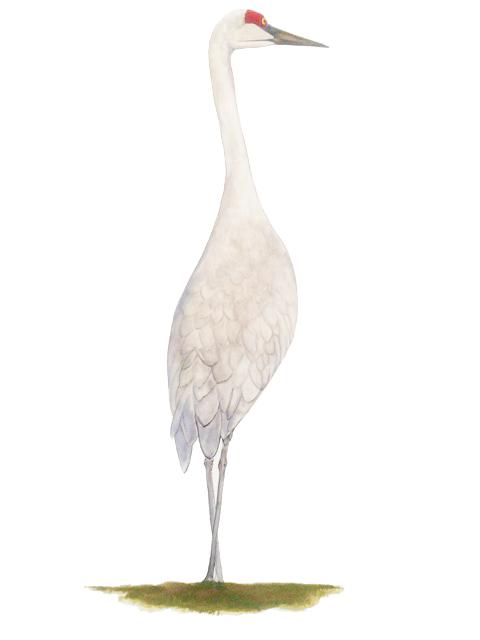 Elegant sand hill crane